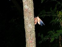 white cicada emergine from exoskeleton